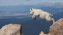 Watch as this baby mountain goat proves her incredible 'parkour' talent